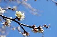 美人梅の花見「蘿崗香雪公園」広州市