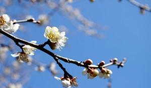 蘿崗香雪公園で梅の花見