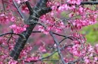 中国の桜でお花見体験「新豊雲髻山」深セン