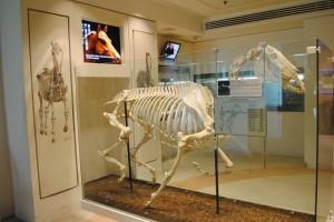 名馬「禄怡」の骨格標本