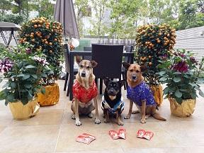 香港ドッグレスキューの犬