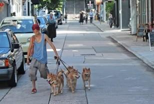 ペット特集1・上環で柴犬大家族と暮らす