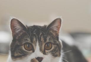 純血種の猫を飼うときにすべき5つのこと
