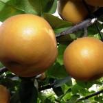 栃木県特産品の「にっこり(梨)」