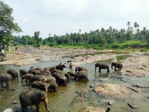 4days ピンナワラの象