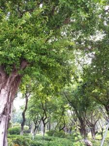 榕樹(ガジュマル)