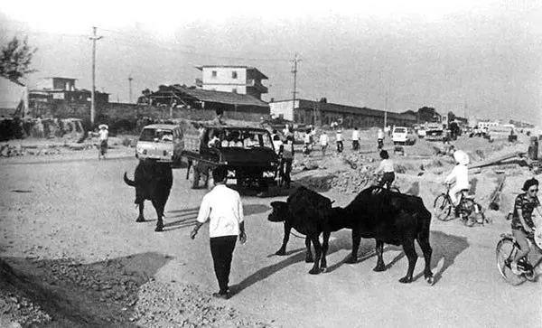 1981年深圳还有耕牛在此踱步
