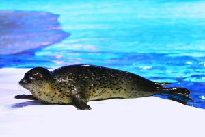 North Pole Encounter - Spotted Seal (1)