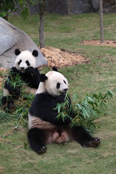Panda in Giant Panda Adventure